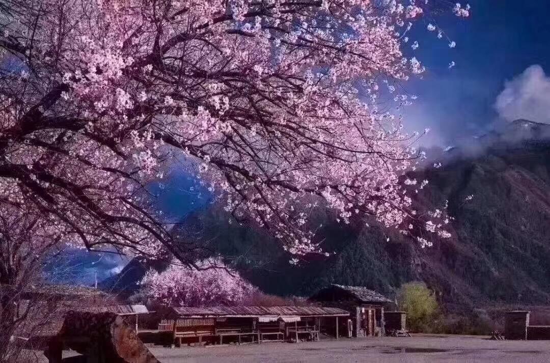 (西藏.林芝桃花节)0自费 品质双飞7天6晚 //拉萨、羊湖、林芝、布达拉宫、大昭寺、雅鲁藏布大峡谷